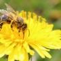 Včela- nejdůležitější živočich na celé planetě!